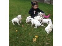 Dalmation puppy's 4 boys ready now live spot