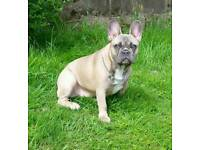 French bulldog puppy girl blue fawn for sale