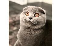 🥰 Super Cuddly Kittens Ready Now Pedigree British Shorthair BSH Manchester