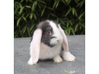 French Lop Pedigree babies ready to reserve