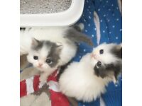 Persian kittens - RESERVE NOW