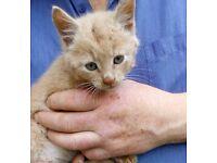 Ginger tabby kitten for sale