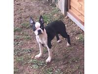 Female Boston terrier