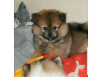 Ready now pomeranian puppies