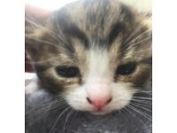 Last adorable kitten available from our gorgeous tabby girls first litter.