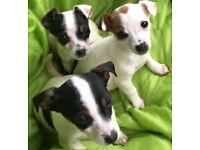 2Tri M 1B&W F Jack Russell terriers