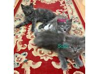3/4 Maine Coon Kittens inc Polydactyl (kittens for sale)