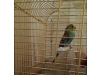 2 young (6 months) old (Male & Female) budgies, very colorful, very healthy and playful.
