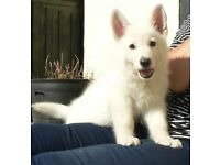 Stunning white German Shepherd puppy
