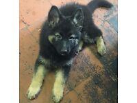 Beautiful Teddy bear Black and Tan German Shepherd girl puppy