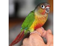 CONURE Yellow Sided green chick 12 weeks Talking parrot £150