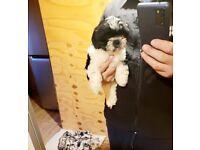 Beautiful shih tzu girl pup