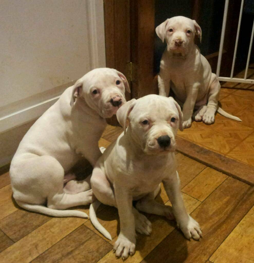 American Bulldog Puppies ***** READY NOW *****
