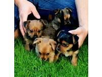Teacup   Dogs & Puppies for Sale - Gumtree
