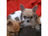 Smoothcoat Chihuahua puppies for sale