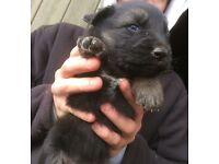 Stunning KC German Shepherd Puppies