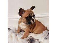 French bulldog Kc puppies