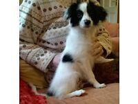 Papillon Puppy, Male, Black & White in Scotland