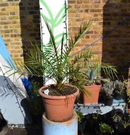 Phoenix Theophrasti Cretan date palm for sale Vauxhall central London