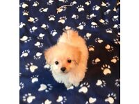 LAST ONE Stunning F1b Cavapoo Puppy For Sale Cavapoo X Poodle