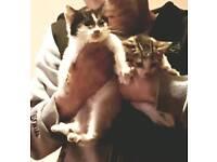 kitten.for sale