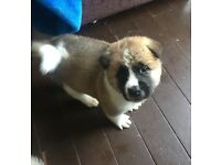 3 American akitas for sale