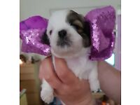 Shih-Tzu Puppy Litter