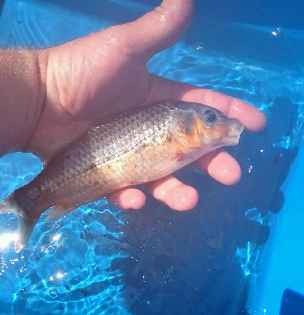 Koi carp for sale in toton nottinghamshire gumtree for Koi fish for sale california
