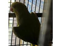 Ring neck parrot