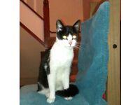 Found: black & white kitten in Lisvane