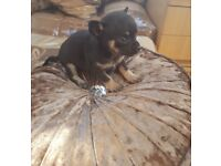 Minture pedigree Chihuahua puppy