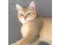 Golden Bsh kitten