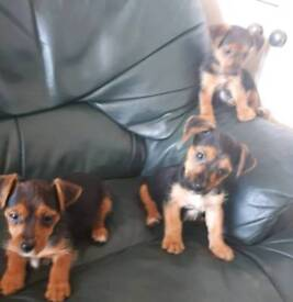 Yorkshire Terrier x Jack Russell Pups