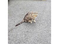 Found male un neutered tabby cat