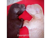 Beautiful Rare Blue KC registered Pedigree Toy Poodle puppies