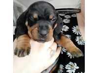 DACHSUND PUPPIES ready April 20th