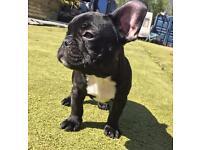 ❤ French Bulldog Puppies ❤