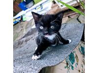 Beautiful black & white kitten ready for new home...