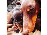 KC registered lovely chunky Dobermann puppies for sale