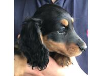Miniature Long haired Dachshund puppies (KC reg)