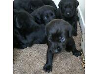 Black Labrador puppies, gorgeous litter of 10
