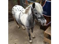 Appaloosa miniature pony