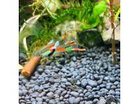 Endler Guppy fish & Blue shrimp
