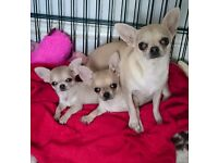 Chihuahua Boy and girl avaliable to reserve kc reg