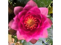 Mature waterlily bare root garden pond plants
