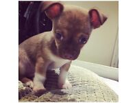 Gorgeous Chihuahua Pup For Sale
