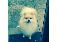 Stunning pomeranian looking for a new home