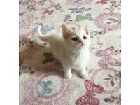 8 Week Old White Male Kitten £90