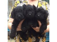 schnoodle boys and girls for sale wormed and micro chipped first part of vacs and 4 weeks insurance