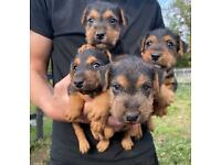 Lakeland Terrier 4 boy pups the one dog left 3 reserved